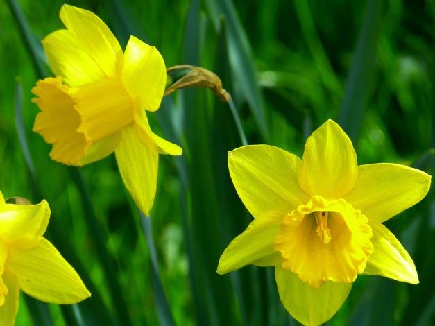 daffodils-634463_1920
