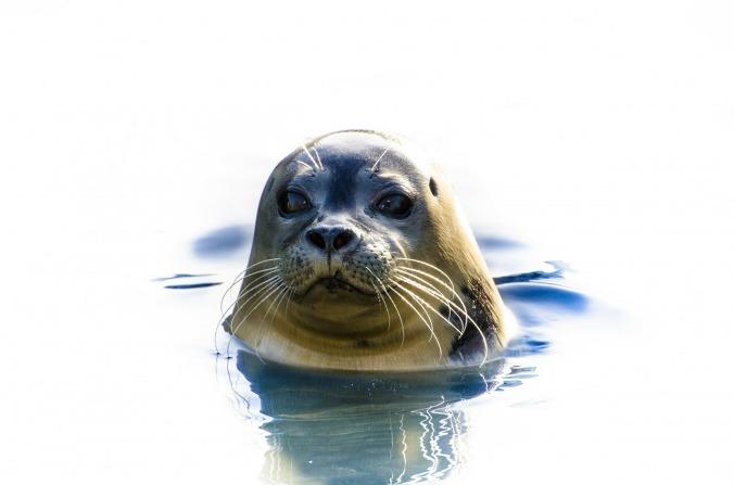 seal-316452_1280