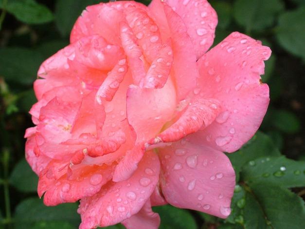 rose-168457_1920