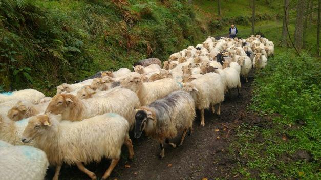 sheep-1779265_1920